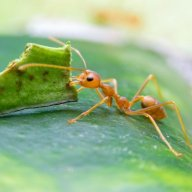 The vegetarian ant